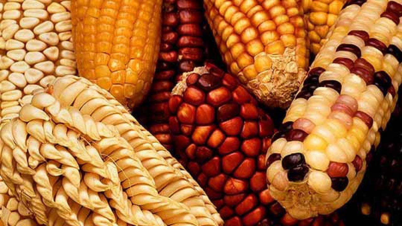 Various types of corn in a pile