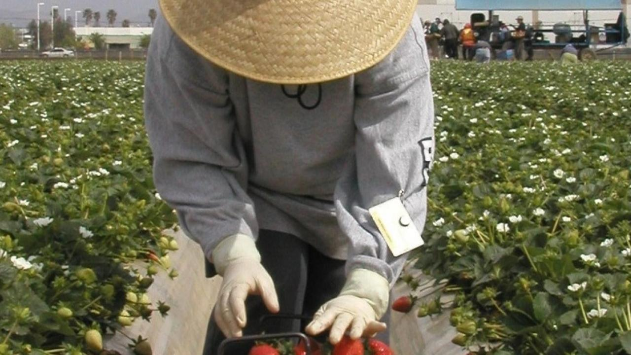 A worker bent over vegetables in a farm field.