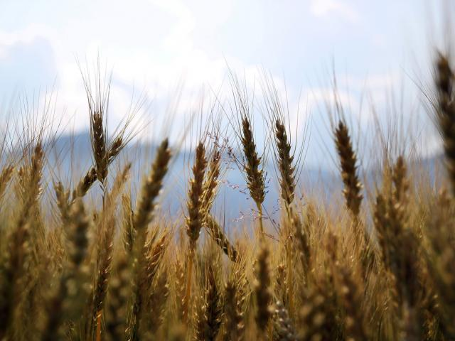 Wheat growing in a field